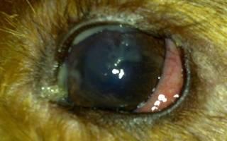 Гноятся глаза у собаки: почему и чем лечить