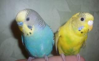 Как выбрать волнистого попугая — мальчика или девочку