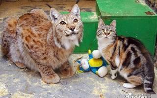 В зоопарке Санкт-Петербурга уже 12 лет вместе живут кошка и рысь