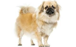 Описание породы собак Тибетский спаниель с отзывами владельцев и фото