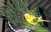 Можно ли попугаю петрушку, укром, зелень, траву