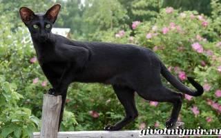 Ориентальная кошка: описание породы, 20+ фото, цена котят