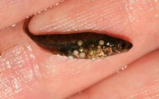 Глюгеоз рыб: описание, лечение, фото-обзор