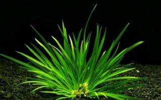 Аир травянистый