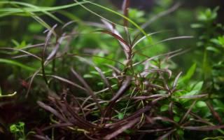 Гигрофила арагвая: содержание, фото-видео обзор