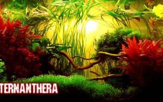 Альтернантера аквариумное растение: содержание, фото-видео обзор