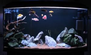 Цихлидник — цихлиды в аквариуме!