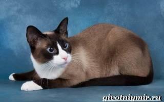 Сноу-шу: 30+ фото кошки, описание породы, цена, уход