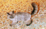 Котик Ники из России, который любит сидеть на пятой точке