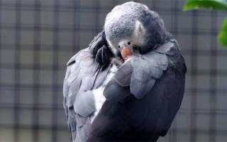 Попугай постоянно спит — все время, причины