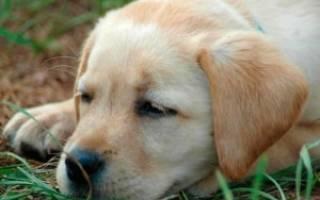 Энтерит симптомы и лечение у собак
