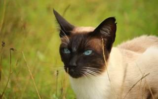 Тайская кошка: 27 фото, описание породы и характера