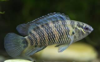 Рыба хамелеон или бадис бадис: содержание, фото-видео обзор