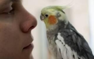 Почему попугай корелла шипит — причины