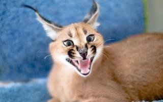 Каракал как домашняя кошка: цена котенка, 29 фото, правила ухода