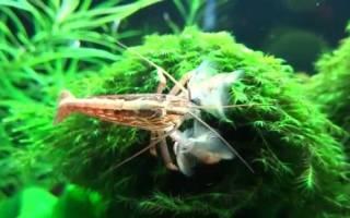 Креветка фильтратор – банановый атиопсис: содержание, размножение, фото-видео обзор