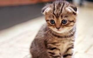 Британская вислоухая кошка: 15 фото, описание породы, характер, уход