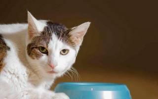 Как повысить аппетит у кошки, кота: после болезни и не только