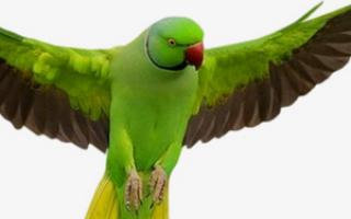 Почему волнистый попугай дрожит и трясет крыльми