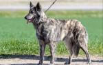 Описание породы собак Голландская овчарка (Хердер) с отзывами и фото