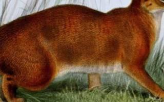 Калимантанская или борнеоская кошка: фото, описание, внешний вид