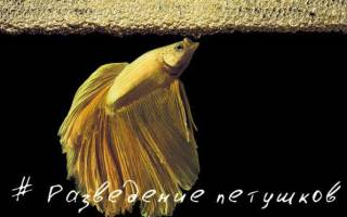 Размножение и разведение петушков нерест в домашнем аквариуме: фото-видео обзор