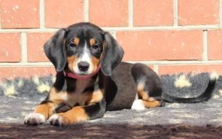 Описание породы собак Энтлебухер зенненхунд с отзывами и фото