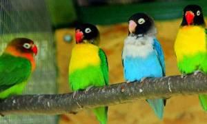 Масковый неразлучник — уход и содержание попугая