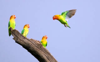 Попугаи неразлучники: виды, описание, жизнь в домашних условиях