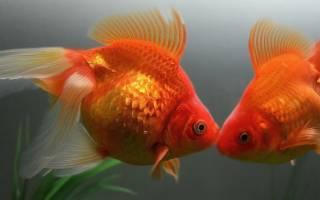 Размножение и разведение золотых рыбок нерест в домашнем аквариуме