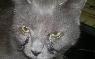 Хламидиоз у кошек: симптомы и лечение, опасность для человека