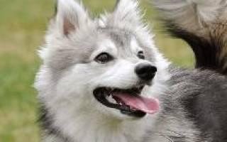Описание породы собак Аляскинский Кли Кай с отзывами владельцев и фото