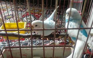 Когда можно выпускать попугая из клетки после покупки