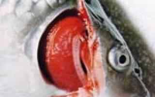 Бранхиомикоз (жаберная гниль) рыб: лечение в аквариуме, фото-видео обзор