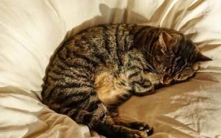 Сколько часов спят кошки в сутки и почему так много, фазы и стадии