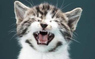 Котенок чихает и кашляет: что делать, причины, заболевания