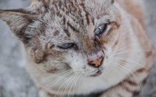 Кровь из носа у кота, кошки: почему идет и что делать?