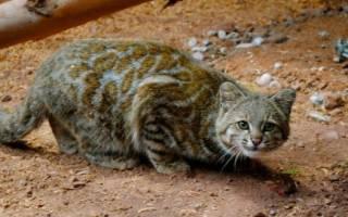 Андская горная кошка: 18 фото, описание, содержат ли в неволе