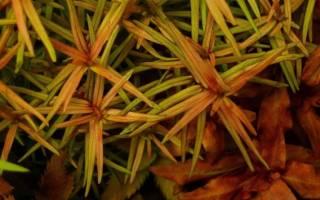 Дидиплис диандра или Бутерлак двухтычинковый: содержание, фото-видео обзор