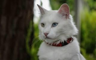 Кошки с разными глазами (гетерохромией): ТОП-8 пород и много фото
