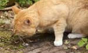 Рвота у кошки: причины, лечение и профилактика симптома