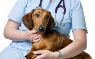 Синдром Кушинга у собак: симптомы и лечение