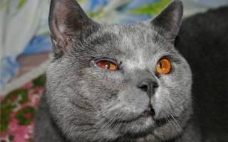 От чего у кошки, кота, котенка гноятся глаза: ТОП причин и чем лечить