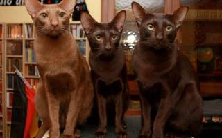 Порода кошек Гавана: история происхождения, фото, сколько стоит