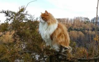 Норвежская лесная кошка: описание породы, характер, 25 фото, цена