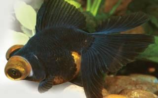 Телескоп — золотая рыбка: содержание, совместимость, разведение, фото-видео обзор