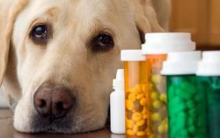 Цистит у собаки: симптомы и лечение