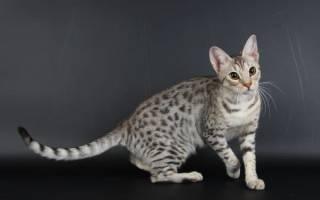 Кошки с большими глазами: ТОП 20 пород, фото, уход и цена