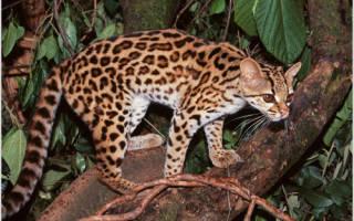 Длиннохвостая кошка Маргай: 44 фото, цена, всё о диком животном