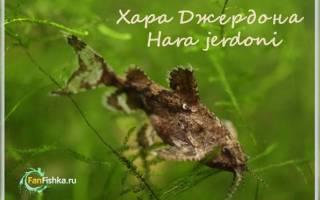 Сомик якорек — Hara Jerdoni: содержание, фото-видео обзор
